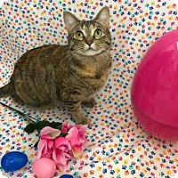 Domestic Shorthair Cat for adoption in Columbus, Indiana - Ripley