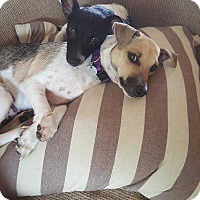 Chihuahua/Rat Terrier Mix Puppy for adoption in Tampa, Florida - Petey and Peppy*