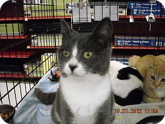 Domestic Shorthair Kitten for adoption in Riverside, Rhode Island - Aubree