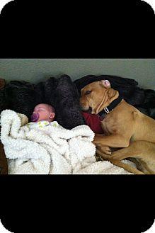 Mastiff/Labrador Retriever Mix Dog for adoption in Phoenix, Arizona - Blake-Adoption Pending