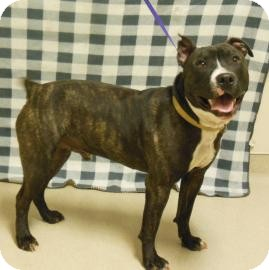 American Pit Bull Terrier Mix Dog for adoption in Gary, Indiana - Brutis