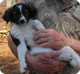 Cockapoo/Sheltie, Shetland Sheepdog Mix Puppy for adoption in Greencastle, North Carolina - Megan