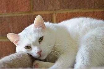 Domestic Shorthair Cat for adoption in Atlanta, Georgia - Helton 13103