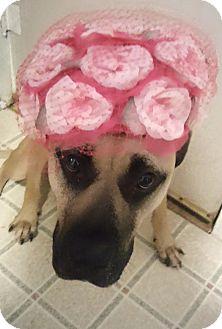 Mastiff/Black Mouth Cur Mix Dog for adoption in Garland, Texas - Marley