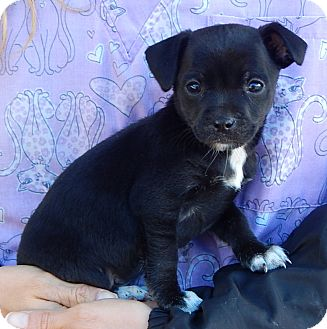 Boston Terrier/Australian Shepherd Mix Puppy for adoption in Williamsport, Maryland - Delilah (3 lb) Video!