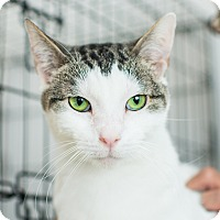Domestic Shorthair Cat for adoption in Los Angeles, California - Beetlejuice