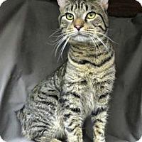 Adopt A Pet :: Thumper - Merrifield, VA
