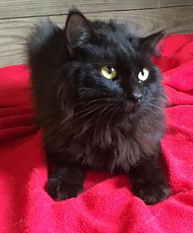 Maine Coon Cat for adoption in Kingwood, Texas - Lilac