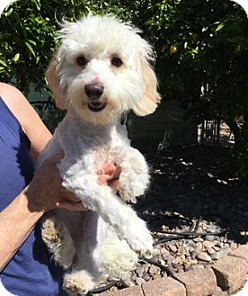 Maltese/Poodle (Miniature) Mix Dog for adoption in Temecula, California - Cindy