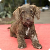 Adopt A Pet :: Jasper-- Cute little Guy-N - Santa Fe, TX