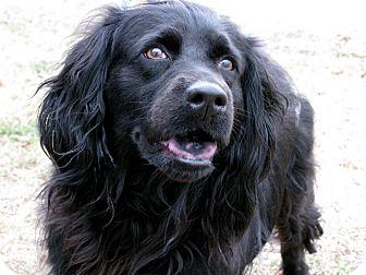 English Springer Spaniel Mix Dog for adoption in Bradenton, Florida - Betty