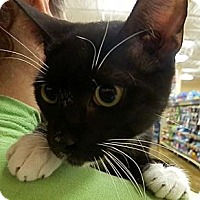 Domestic Shorthair Cat for adoption in Hallandale, Florida - Harrison
