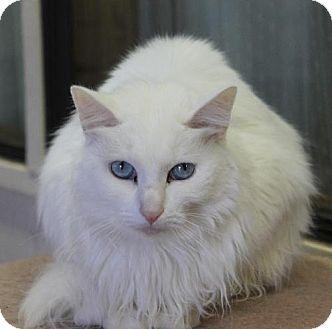 Siamese Cat for adoption in Golden Valley, Arizona - Kaya