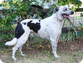 English Springer Spaniel/Labrador Retriever Mix Dog for adoption in Grand Prairie, Texas - Splash
