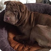 Adopt A Pet :: Scarlet - Long Beach, CA