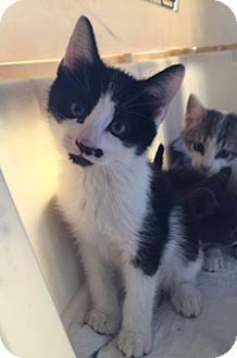 Domestic Shorthair Kitten for adoption in Bronx, New York - Pepe