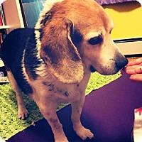 Adopt A Pet :: Sammy 2.0 - Baltimore, MD