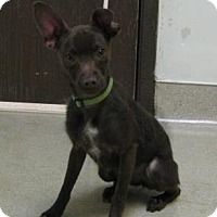 Adopt A Pet :: Cocoa - Gary, IN
