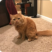 Adopt A Pet :: Orangie - Stafford, VA