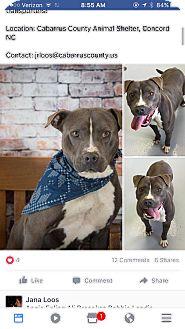 Pit Bull Terrier Dog for adoption in Monroe, North Carolina - Sampson