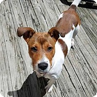 Fox Terrier (Smooth)/Boxer Mix Puppy for adoption in Waterbury, Connecticut - Piper