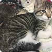 Adopt A Pet :: Dominic - Cerritos, CA