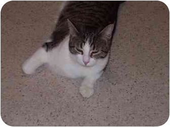 Domestic Shorthair Cat for adoption in Chicago, Illinois - Shadowhawk