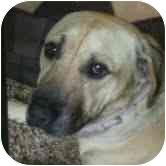 Shepherd (Unknown Type) Mix Dog for adoption in Riverside, California - Ajax