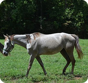 Quarterhorse Mix for adoption in Waleska, Georgia - Ruby