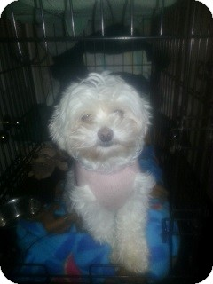 Maltese Dog for adoption in Northumberland, Ontario - Channel