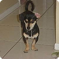 Chihuahua/Dachshund Mix Dog for adoption in Naples, Florida - Bailey