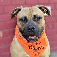 Pit Bull Terrier Dog for adoption in Williston, Vermont - Josh