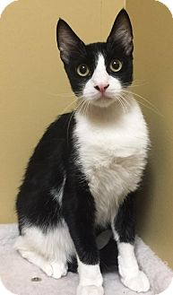 Domestic Shorthair Cat for adoption in Elgin, Texas - Bobby