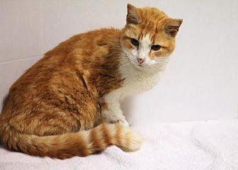 Domestic Shorthair Cat for adoption in Murfreesboro, North Carolina - Geoffrey