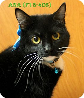 American Shorthair Cat for adoption in Tiffin, Ohio - ANA
