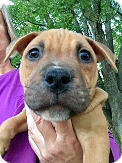 American Staffordshire Terrier Mix Puppy for adoption in Grand Rapids, Michigan - Sirius