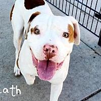 Pit Bull Terrier Dog for adoption in Sacramento, California - *HEATH