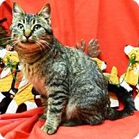 Domestic Shorthair Cat for adoption in Columbus, Nebraska - Jennifer