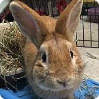Adopt A Pet :: Buzz - Woburn, MA