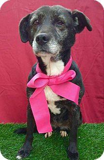 Labrador Retriever/Shepherd (Unknown Type) Mix Dog for adoption in pasadena, California - SALLY