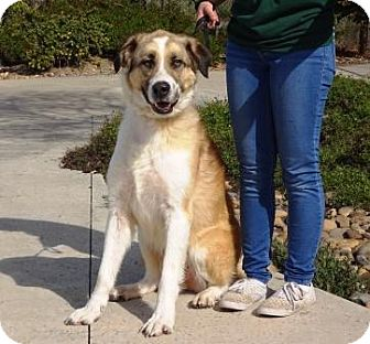 Anatolian Shepherd Mix Dog for adoption in Lathrop, California - Tonka