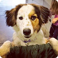 Adopt A Pet :: Izzy - Allen, TX