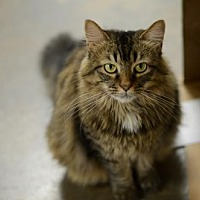 Domestic Longhair Cat for adoption in Atlanta, Georgia - Shannon  150501
