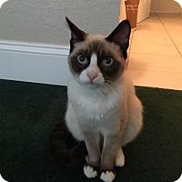 Adopt A Pet :: Cho - Agoura Hills, CA