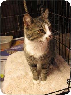Domestic Shorthair Cat for adoption in Centerburg, Ohio - Crimson