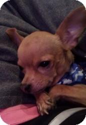 Chihuahua Mix Dog for adoption in Mesa, Arizona - Lucky