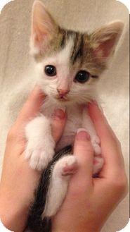 Domestic Shorthair Kitten for adoption in Aiken, South Carolina - Forney