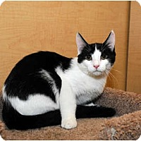 Adopt A Pet :: Shemp - Farmingdale, NY