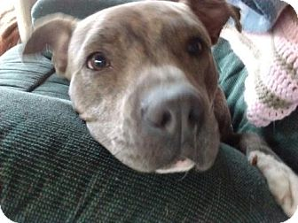 American Pit Bull Terrier Mix Dog for adoption in San Antonio, Texas - Cookie