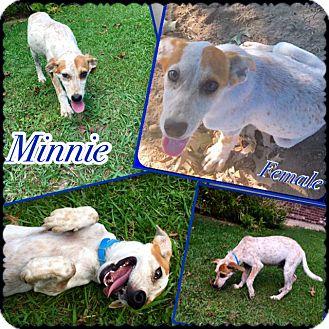 Hound (Unknown Type) Mix Puppy for adoption in Manchester, Connecticut - Minnie in CT
